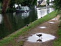 Moorhen in puddle, Osney - geograph.org.uk - 1323531.jpg