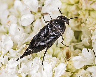 <i>Mordella</i> genus of insects