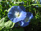 Morning glory 6b.jpg