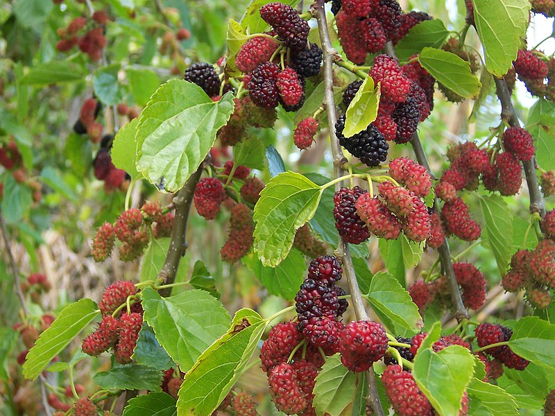 Morus alba fruits