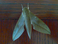 Moth in Thane-India.png