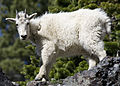 Mountain goat 2 myatt (5489213543).jpg