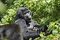 Mountain gorilla (Gorilla beringei beringei) 10.jpg