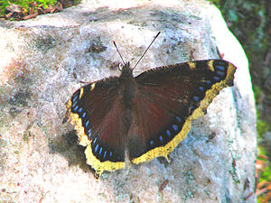 English: Mourning Cloak (Nymphalis antiopa) in...