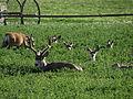 Mule Deer, Washoe Valley, Nevada (20720033234).jpg