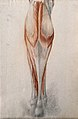 Muscles and tendons of the lower leg and foot, seen from beh Wellcome V0008271EL.jpg