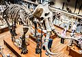 Museum of Natural History Mammuthus meridionalis.jpg