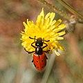 Mylabris quadripunctata-Mylabre à quatre points-20160705.jpg