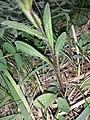 Myosotis stenophylla sl2.jpg