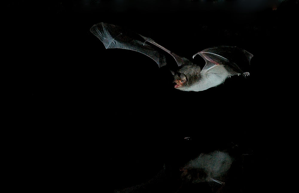 The average adult weight of a Long-fingered bat is 8 grams (0.02 lbs)