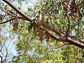 Nandivrikshamu (Telugu- నందివృక్షము) (5496161665).jpg