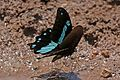 Narrow blue-banded swallowtail (Papilio nireus lyaeus).jpg
