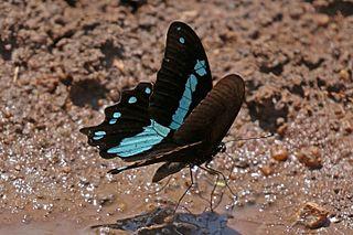 <i>Papilio nireus</i> species of insect