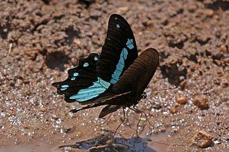 Papilio - Narrow blue-banded swallowtail (Papilio nireus), Uganda