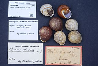 Cepolidae (gastropods) Family of gastropods