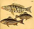Naturgeschichte in Bildern mit erläuterndem Text (Taf. LXXIX) (6059217954).jpg