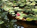 Nenúfares no lago Jardim Zoologico - panoramio.jpg