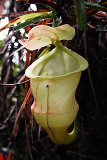<i>Nepenthes hamiguitanensis</i> Species of pitcher plant from the Philippines