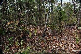 Nepenthes rafflesiana - Typical habitat of N. rafflesiana.