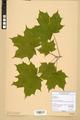 Neuchâtel Herbarium - Acer platanoides - NEU000026112.tiff