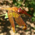 Neurothemis fulva. male. - Flickr - gailhampshire.jpg