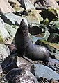 New Zealand Fur Seal (Arctocephalus forsteri) shaking off water.jpg