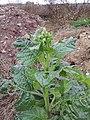 Nicotiana rustica sl2.jpg
