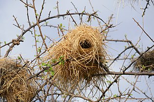 Nids de Plocepasser mahali (Namibie) (3)