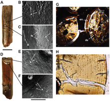 Pictures of the structures of the teeth