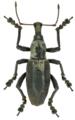 Niphetoscapha wichmanni, male.tif