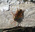 Nomada species. - Flickr - gailhampshire (1).jpg