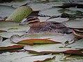 Nomonyx dominicus Pato enmascarado Masked Duck (female) (12253214914).jpg