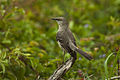 Northern Mockingbird - Texas H8O0019 (17200884665).jpg