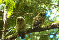 Northern Spotted Owl (8434206254).jpg
