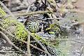 Northern Water Thrush (8732643399).jpg