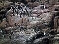 Nurzyki i alki na wyspie Graesholmen - panoramio (2).jpg
