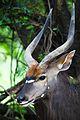 Nyala bull 6.jpg