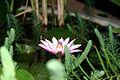 Nymphaea Tropical Night-Blooming Water Lily, Waterlily, Tiger Lotus (Nymphaea lotus).jpg