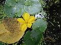 Nymphoides peltata02.jpg