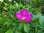 Nyponros (Rosa dumalis) 012.jpg