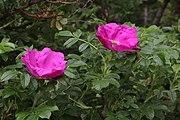 Nyponros (Rosa dumalis) 014.jpg