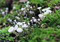Oak Pin, Cudoniella acicularis, UK 2.jpg