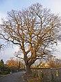 Oak Tree, Burnt Farm Ride, Enfield - geograph.org.uk - 1080119.jpg