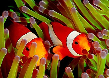 LARGER On Black Ocellaris clownfish, Amphiprio...