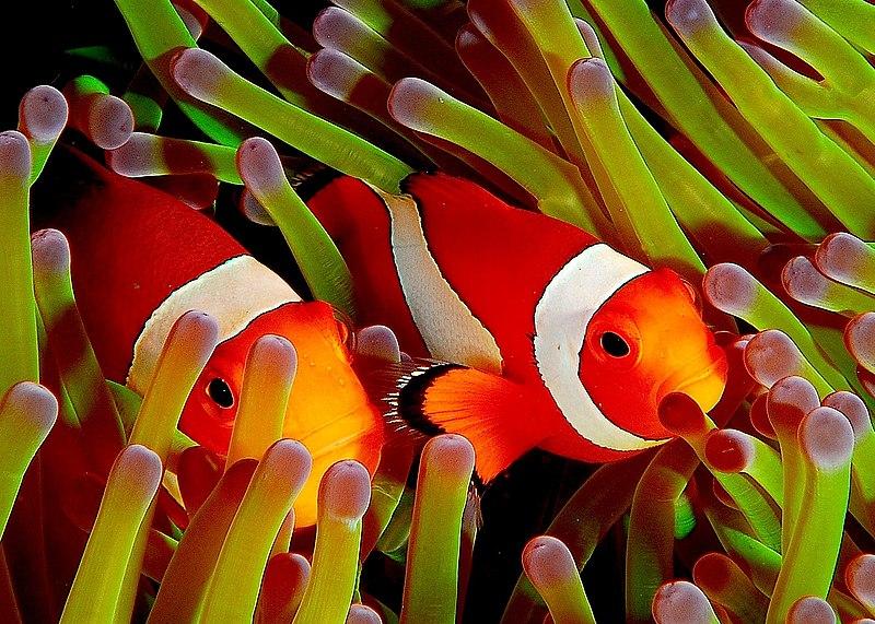 File:Ocellaris clownfish, Flickr.jpg