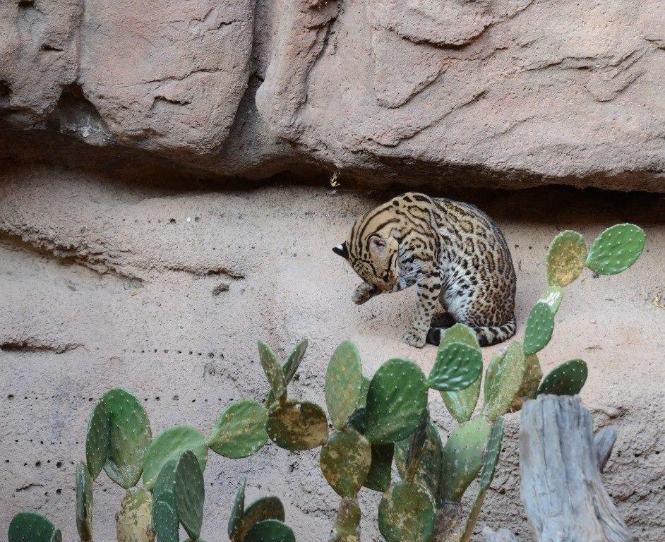Ocelot at Sonora Desert Museum in Tucson Arizona