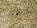 Oct 2012 Spur winged Plover nest beside the 3 rd green (Vanellus miles) - panoramio.jpg