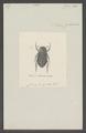 Odontria - Print - Iconographia Zoologica - Special Collections University of Amsterdam - UBAINV0274 020 04 0019.tif