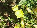 Oenothera fruticosa0.jpg