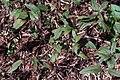 Oenothera tetragona Highlights 1zz.jpg